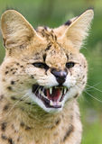 Gatto del Serval che ringhia Fotografie Stock Libere da Diritti