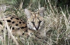 Gatto del serval di Leptailurus del Serval che riposa nell'erba fotografia stock libera da diritti