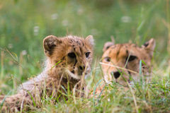 gatto dell'animale della fauna selvatica della madre della famiglia del ghepardo del bambino immagine stock