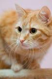 Gatto dell'animale domestico Fotografie Stock Libere da Diritti