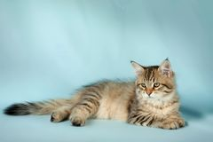 Gatto dell'animale domestico Immagini Stock Libere da Diritti