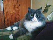 gatto dell'animale domestico che si trova sul sofà Immagine Stock