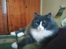 gatto dell'animale domestico che si trova sul sofà Immagini Stock Libere da Diritti
