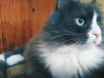 gatto dell'animale domestico che si trova sul sofà Immagini Stock