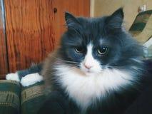 gatto dell'animale domestico che si trova sul sofà Fotografia Stock Libera da Diritti