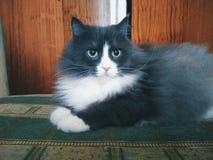 gatto dell'animale domestico che si trova sul sofà Fotografia Stock