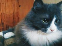 gatto dell'animale domestico che si trova sul sofà Immagine Stock Libera da Diritti