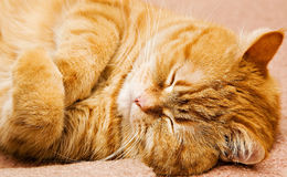 Gatto dell'isola di Man arancione - Immagine Stock