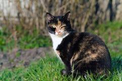 Gatto della carapace con gli occhi verdi all'aperto che sono strabici al sole Fotografie Stock