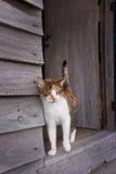 Gatto della carapace in porta di vecchia tettoia di legno Immagini Stock Libere da Diritti