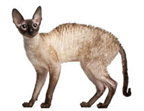 Gatto della Cornovaglia di Rex, 14 mesi, levantesi in piedi Fotografia Stock