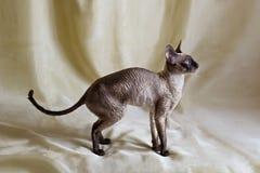 Gatto della Cornovaglia di Rex Fotografia Stock