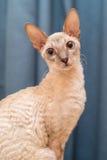 Gatto della Cornovaglia di Rex Fotografia Stock Libera da Diritti