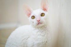 Gatto della Cornovaglia di Rex che esamina fotografo Fotografia Stock Libera da Diritti
