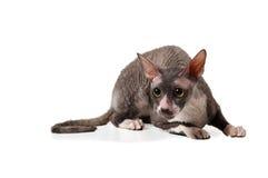 Gatto della Cornovaglia grigio del rex Fotografia Stock Libera da Diritti