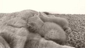 Gatto della madre che alimenta i suoi gattini, zerbino archivi video