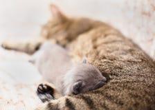 Gatto della madre che alimenta il suo gattino Fotografia Stock Libera da Diritti