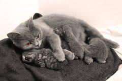 Gatto della madre che allatta al seno i suoi bambini Immagine Stock