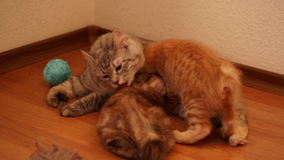 Gatto della madre che lecca il suo gattino stock footage