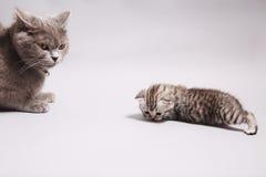 Gatto della madre con il suo bambino Immagine Stock