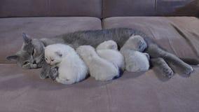 Gatto della madre di Britannici Shorthair che alimenta i suoi gattini archivi video