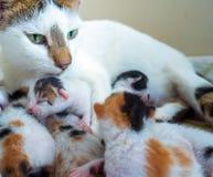 Gatto della madre e 3 gattini di giorni vecchi Immagine Stock Libera da Diritti