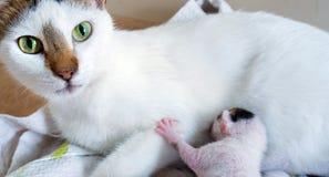 Gatto della madre e 3 gattini di giorni vecchi Immagini Stock Libere da Diritti