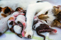 Gatto della madre e 3 gattini di giorni vecchi Fotografia Stock Libera da Diritti