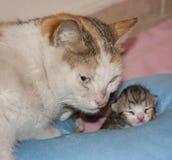 Gatto della madre ed il suo gattino Immagini Stock