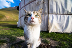 Gatto della montagna fotografia stock