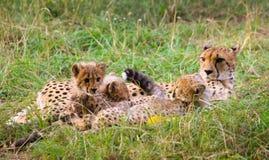 gatto della natura della fauna selvatica della madre dei ghepardi del bambino sveglio Fotografia Stock
