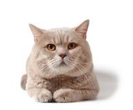 Gatto della razza britannica dello shorthair Immagine Stock Libera da Diritti