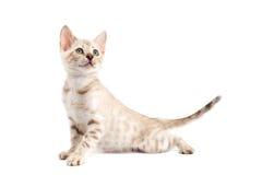 Gatto della razza del Bengala del gattino su priorità bassa bianca Immagine Stock