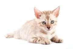 Gatto della razza del Bengala del gattino su priorità bassa grigio-chiaro Immagine Stock Libera da Diritti