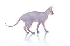 Gatto della razza del Don Sphynx Fotografia Stock