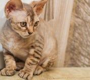Gatto della razza di Devon Rex Fotografia Stock