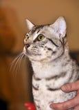 Gatto della razza di Mau dell'Egiziano con gli occhi verdi Fotografie Stock Libere da Diritti