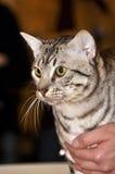 Gatto della razza di Mau dell'Egiziano con gli occhi verdi Immagini Stock