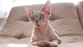 Gatto della razza di Sphynx in rifiuti domestici archivi video