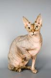 Gatto della razza lo sphynx canadese Immagini Stock