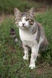 Gatto della sentinella Fotografia Stock