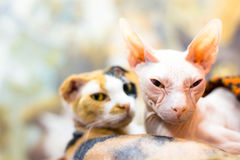 Gatto della Sfinge Fotografia Stock Libera da Diritti