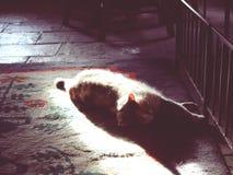 Gatto della siluetta Immagine Stock