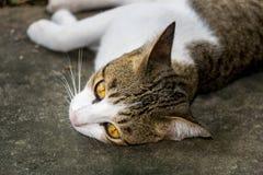 Gatto della Tailandia Fotografia Stock