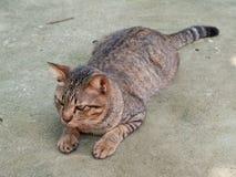 Gatto della Tailandia Fotografie Stock