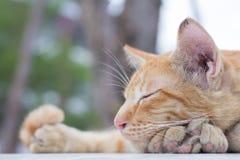 Gatto della Tailandia Fotografie Stock Libere da Diritti