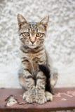 Gatto della via Fotografia Stock Libera da Diritti