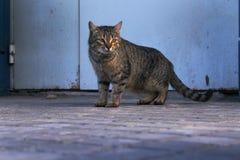 Gatto della via Immagine Stock