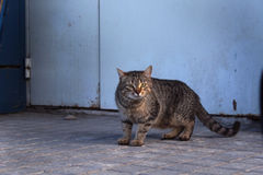 Gatto della via Immagini Stock