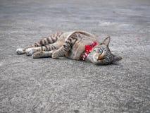 Gatto della via con il collare rosso e campana che esamina spettatore Immagine Stock Libera da Diritti